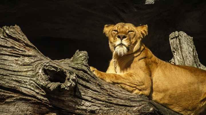 animal big big cat brown